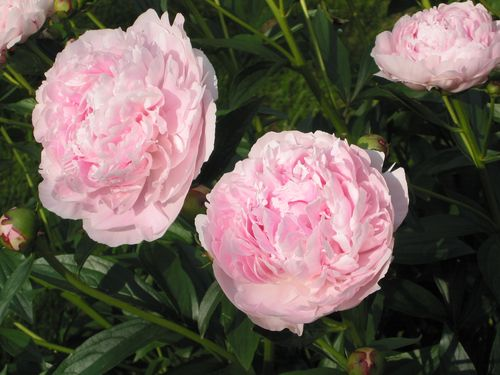 Peony by deck