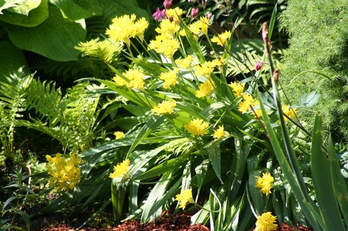 Molly Gold Allium